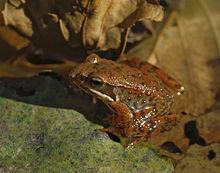 rana ibérica- embalse del Vado- Sierra Norte de Guadalajara
