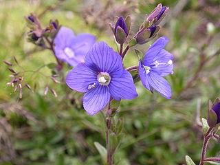 Las verónicas son uno de los principales valores florísticos roqueros de las montañas del parque natural (Turismo Rural)