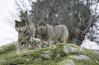 Canis Lupus Signatus - ecoturismo guadajara - ecoturismo sierran norte de guadalajara - ecoturismo (tamajon)
