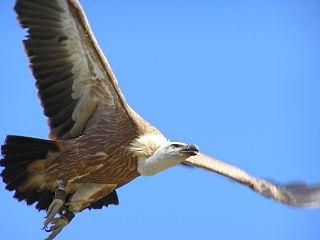 buítre leonado (ave rapaz en La Vereda), Parque Natural Sierra Norte de Guadalajara, Biodiversidad Norte de Guadalajara, Biodiversidad, espacios protegidos de Guadalajara