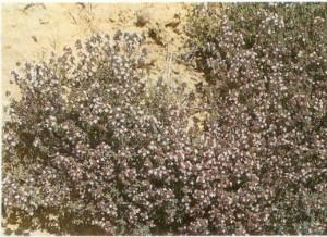 El tomillo florece en primavera en muchos lugares del parque natural. (turismo rural Sierra de Norte Guadalajara)