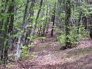 Bosque de hayas en la Tejera Negra, uno de los más meridionales de Europa (Ecoturismo Sierran Norte de Guadalajara)