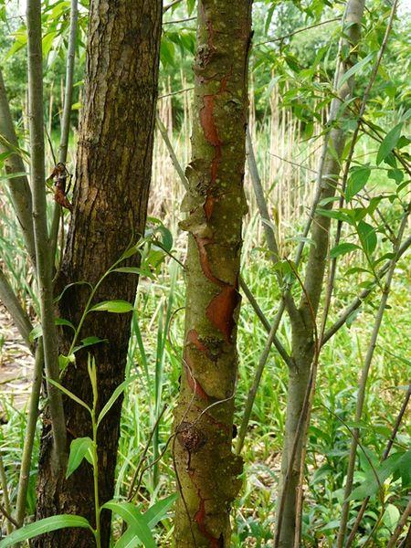 El sauce negro está presente en la mayor parte de los cursos fluviales del parque natural (Tamajon Ecoturismo)