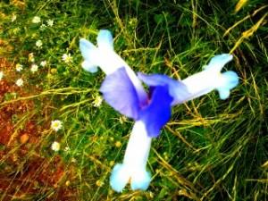flor de iris, flora de Guadalajara, flora de Tamajón, flores de primavera iris