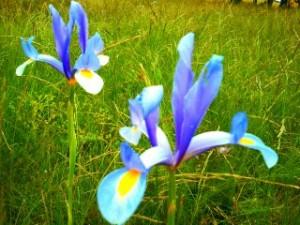 Iris en Tamajón, Parque Natural Sierra Norte de Guadalajara