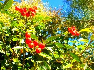 rosal canino, escaramujo fruto, escaramujo fruto rosal canino, escaramujo en Guadalajara, escaramujo sierra norte de Guadalajara
